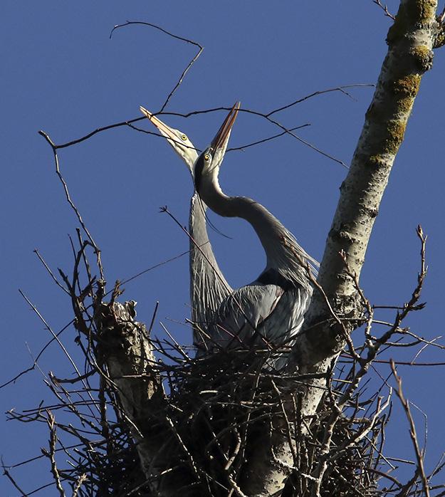 Delta Ponds - Blue Heron - Eugene, OR - Barbara Raisbeck Photography
