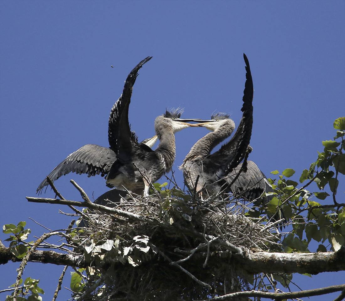 Blue Heron Juveniles - Delta Ponds - Eugene, OR - Barbara Raisbeck