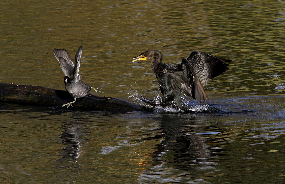 Coot - Cormorant - Delta Ponds - Eugene, OR - Barbara Raisbeck