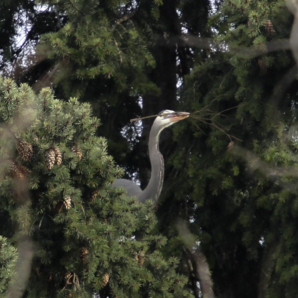 Great Blue Heron, Heron Mating Ritual - Delta Ponds, Eugene, OR - Barbara Raisbeck Photography