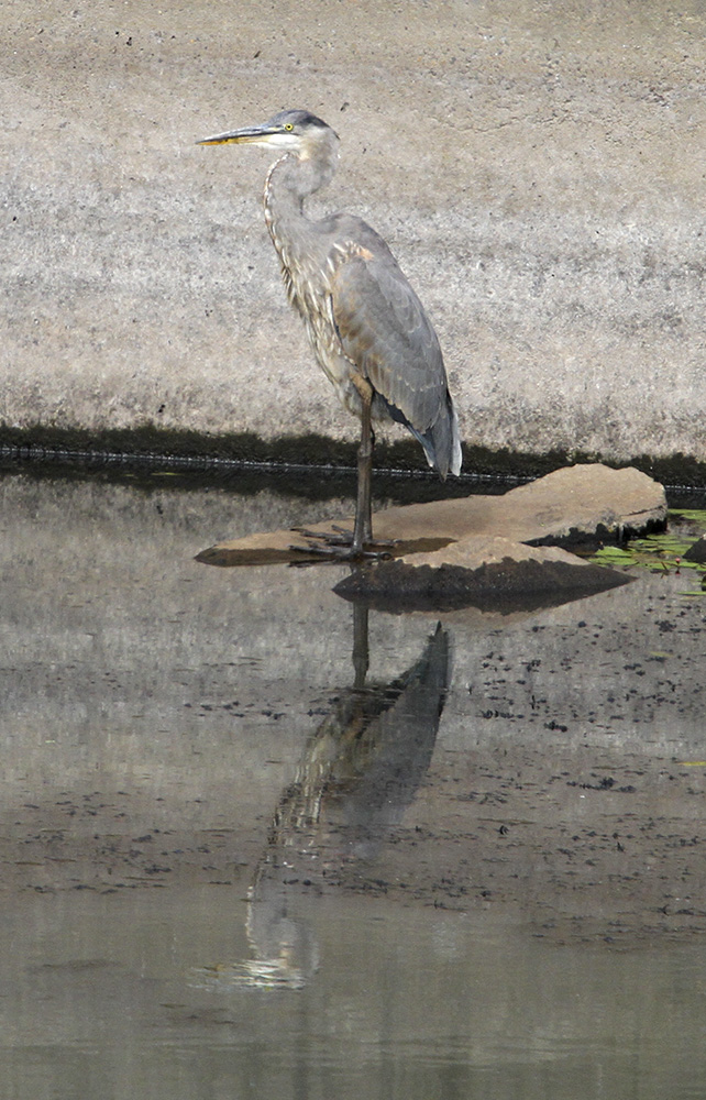 Great Blue Heron, Delta Ponds, Eugene, OR, Barbara Raisbeck Photography