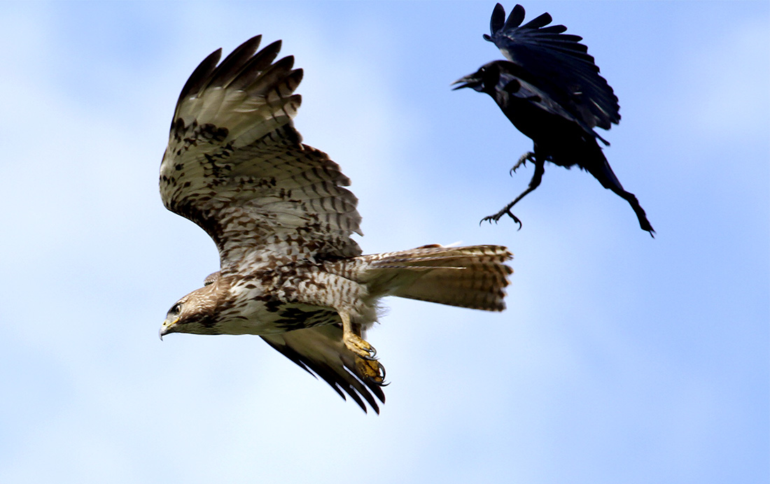 Hawk, Crow, Delta Ponds, Eugene, OR, Barbara Raisbeck Photography