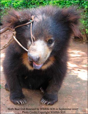 sloth bear cub rescued september 2007 - Dancing Free