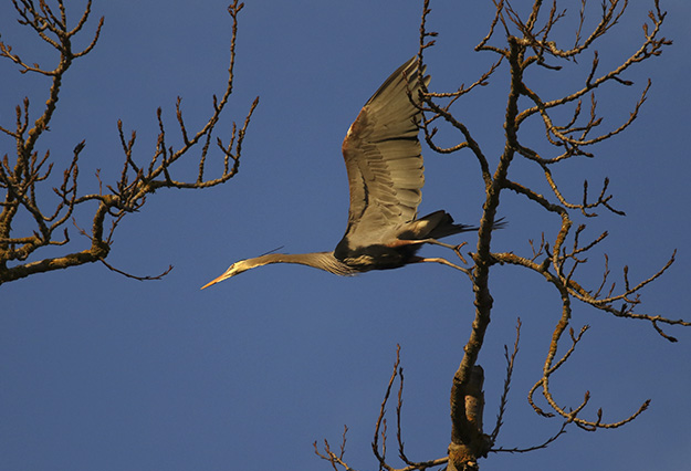 Delta Ponds - Blue Heron - Eugene, OR - Barbara Raisbeck Photography