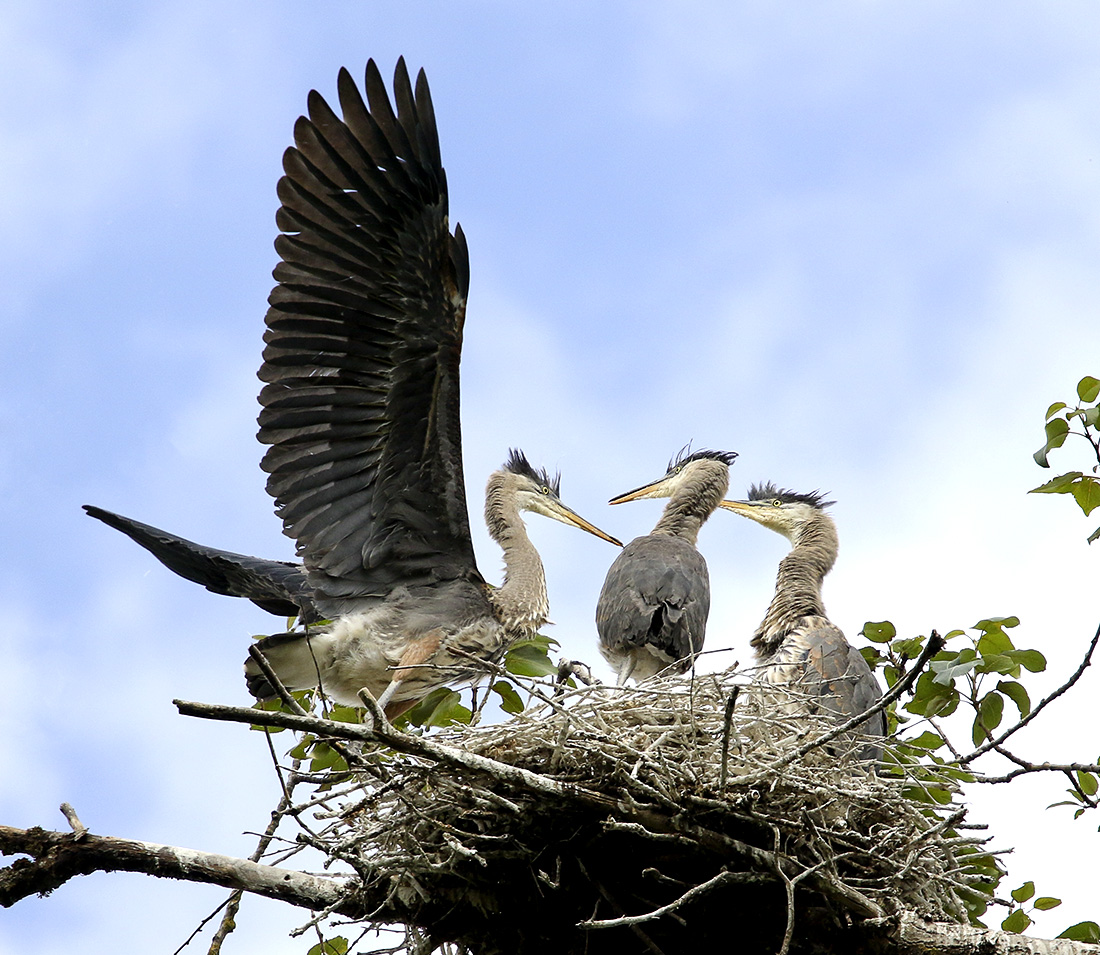 Delta Ponds - Blue Heron Juvenile - Eugene, OR - Barbara Raisbeck Photography
