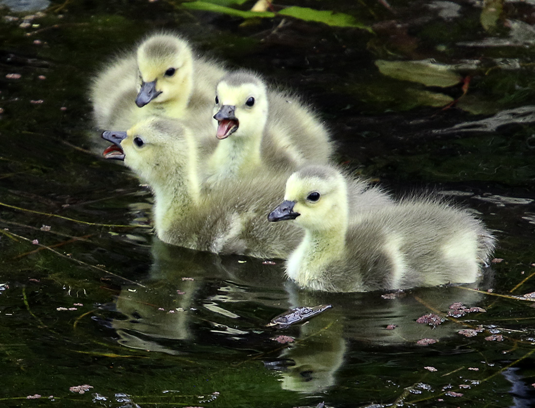 Delta Ponds - Goslings - Eugene, OR - Barbara Raisbeck Photography