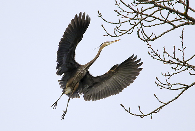 Delta Ponds - Blue Heron Rookery - Eugene, OR - Barbara Raisbeck Photography