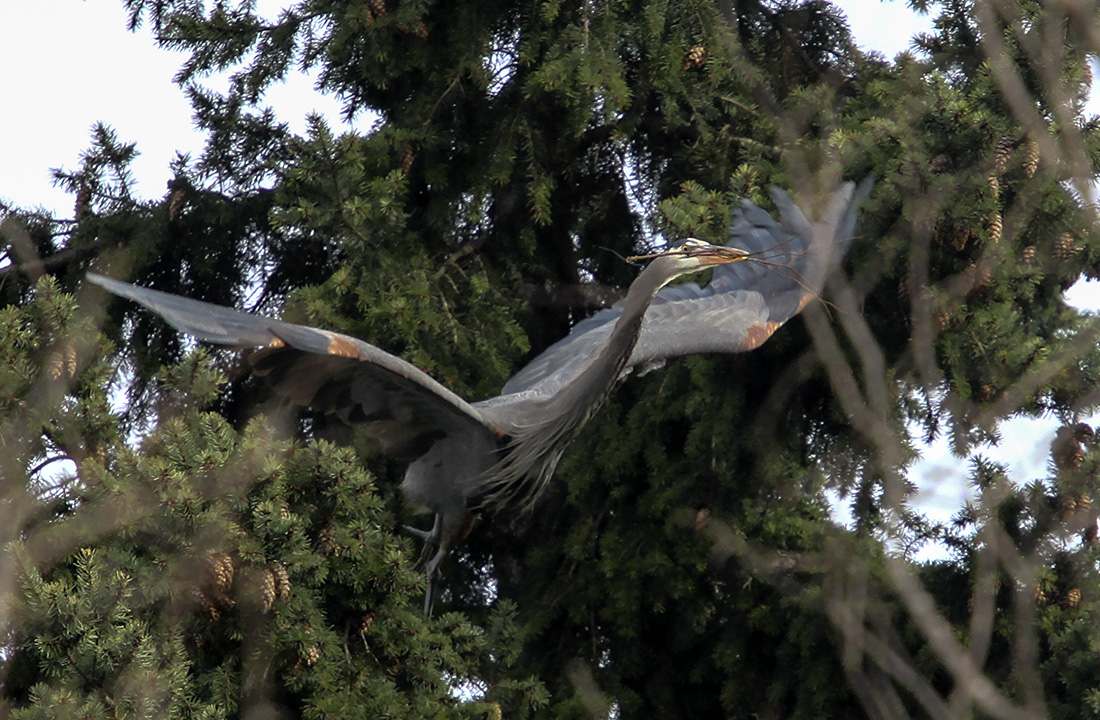 Great Blue Heron, Heron Mating Ritual - Delta Ponds, Eugene, OR - Barbara Raisbeck Photography