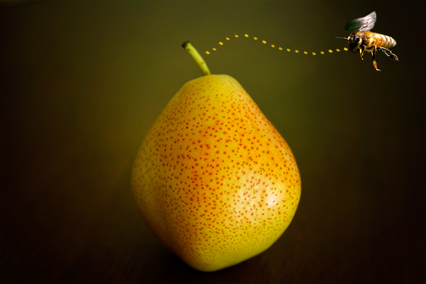 IMG 3717 pear bee - pear_bee