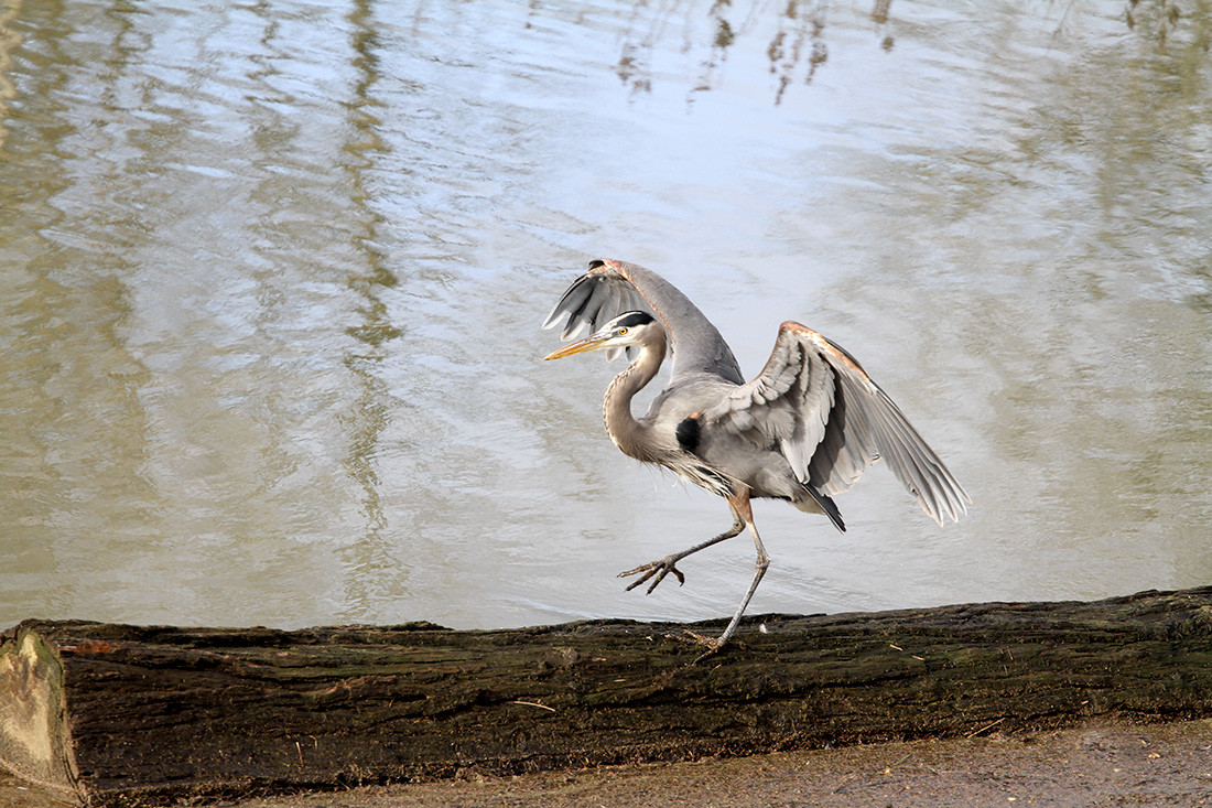 Great Blue Heron - Delta Ponds, Eugene, OR - Barbara Raisbeck Photography