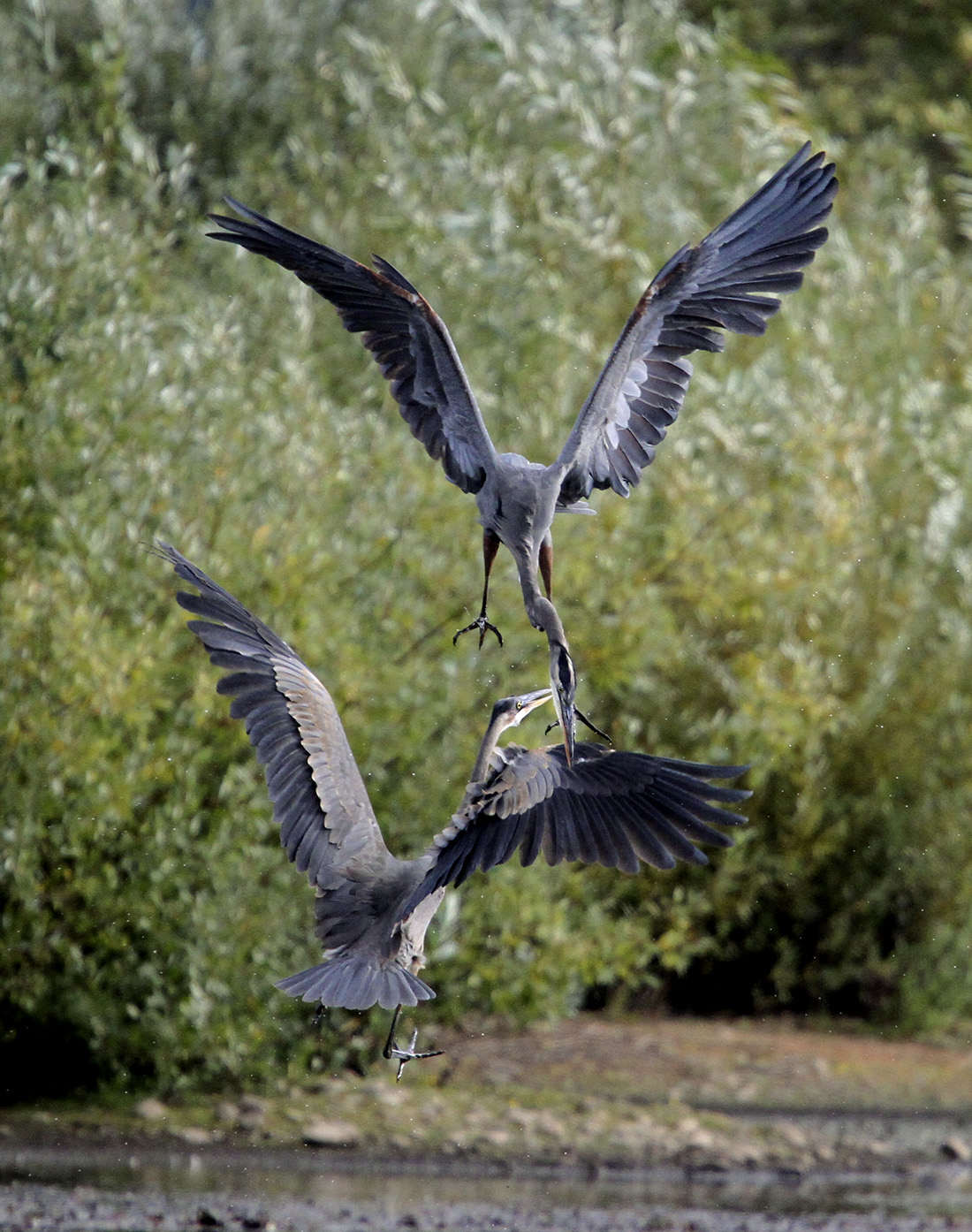 Great Blue Heron - Delta Ponds - Eugene, OR - Barbara Raisbeck