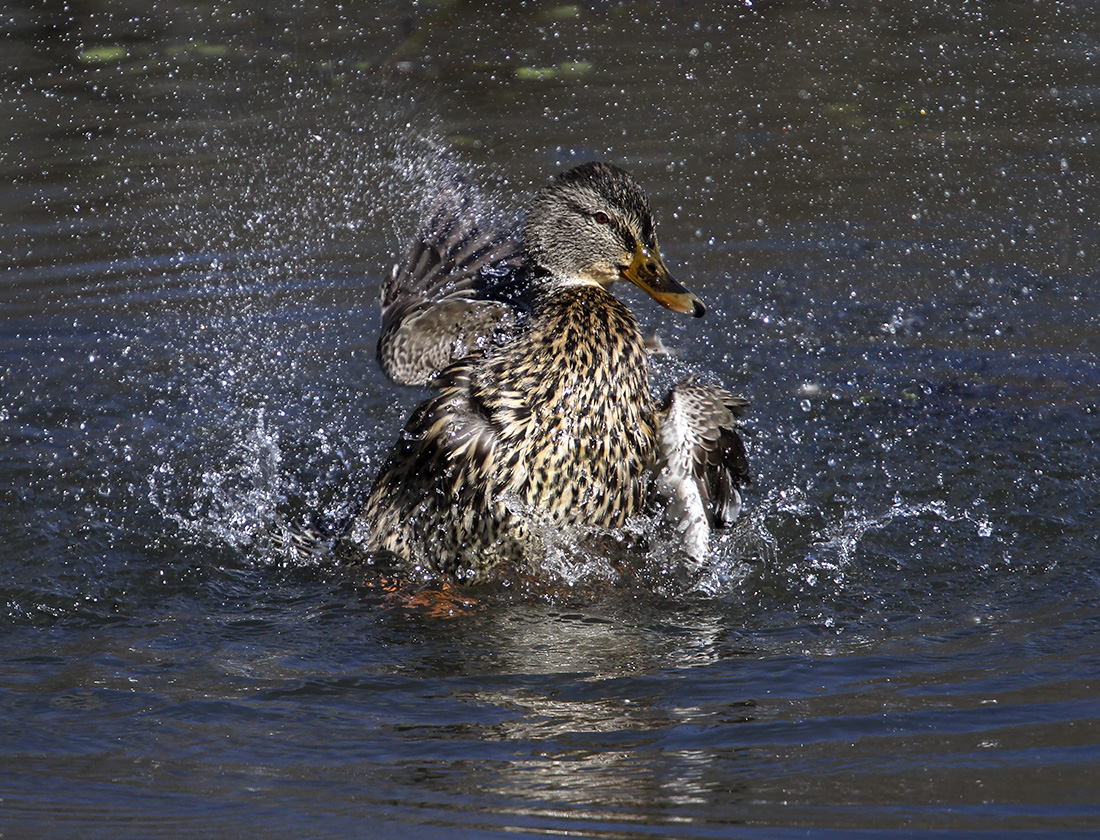 Duck - Delta Ponds, Eugene, OR - Barbara Raisbeck Photography
