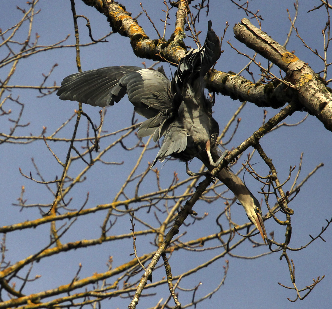 Blue Herons - Delta Ponds - Eugene, OR - Barbara Raisbeck Photography