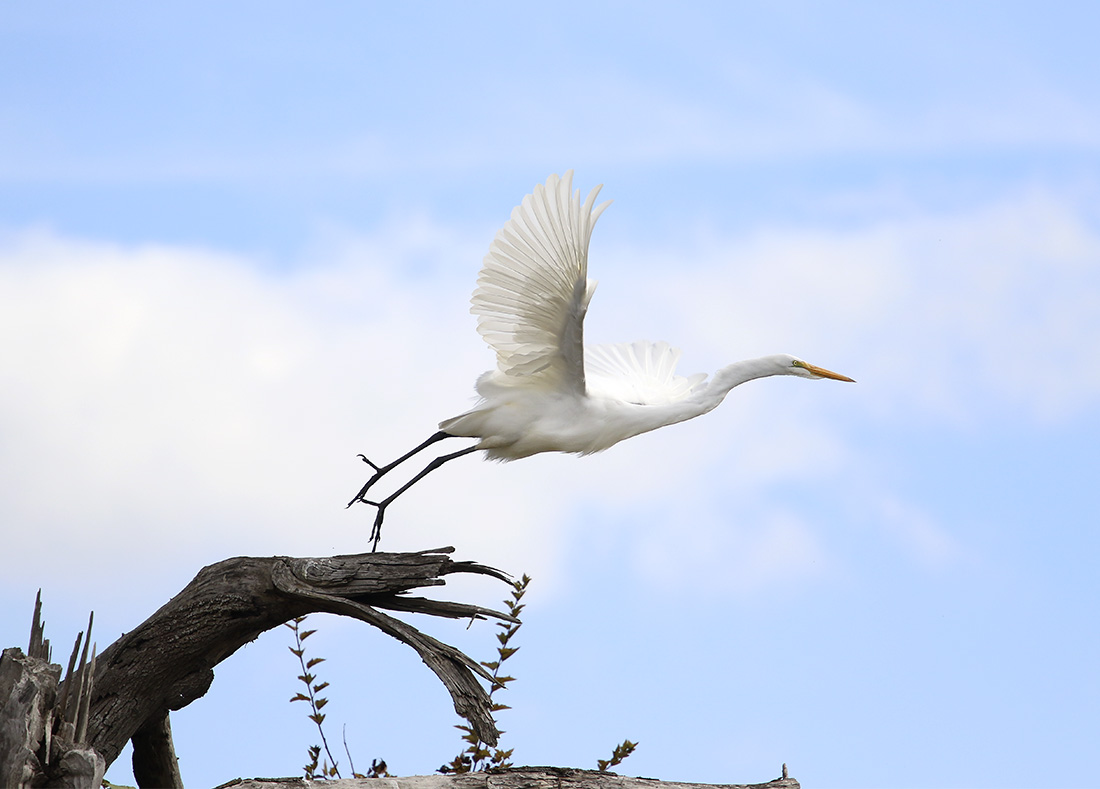 Delta Ponds - Great Egret - Eugene, OR - Barbara Raisbeck