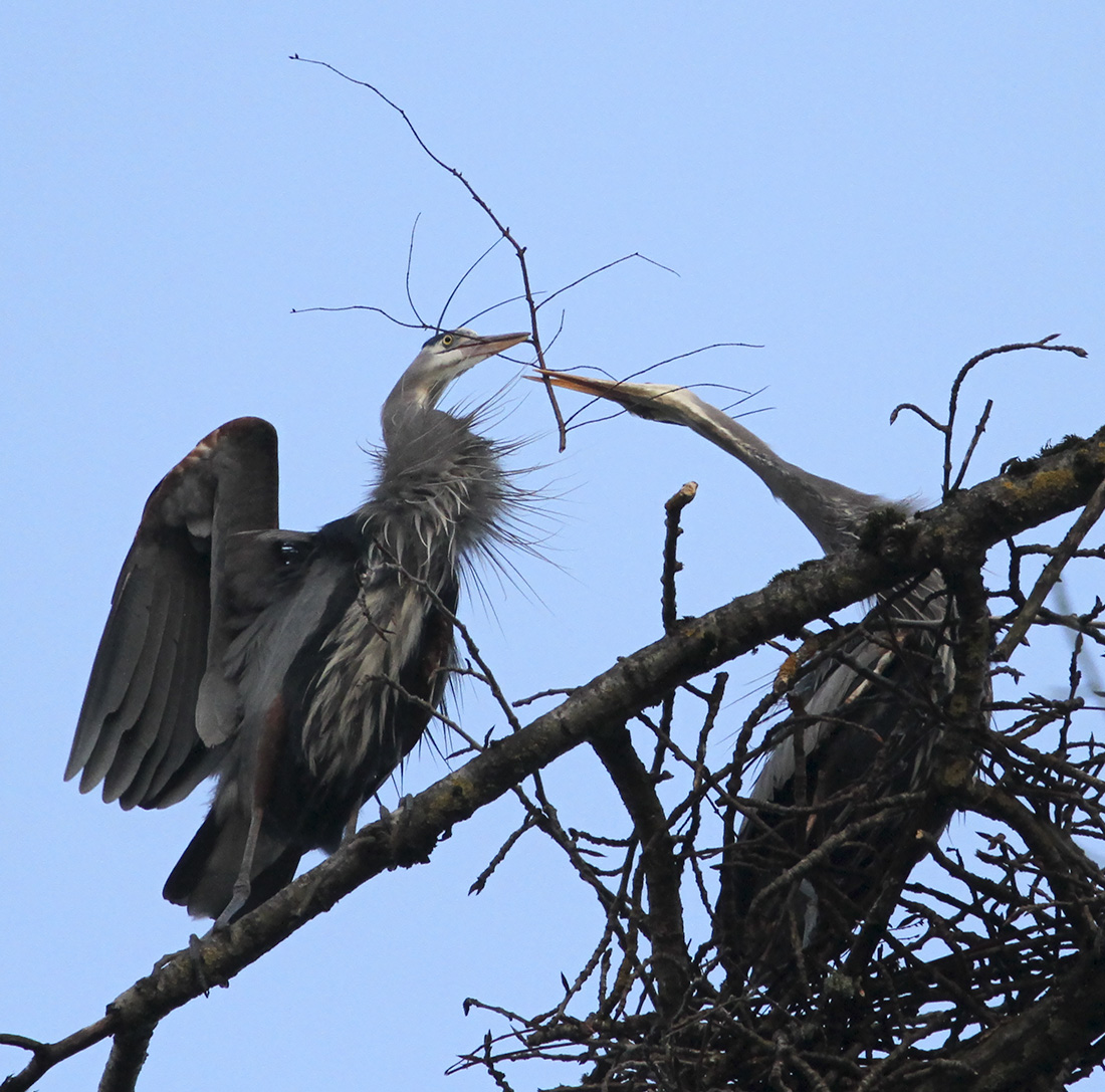 Blue Herons - Delta Ponds - Eugene, OR - Barbara Raisbeck Photography