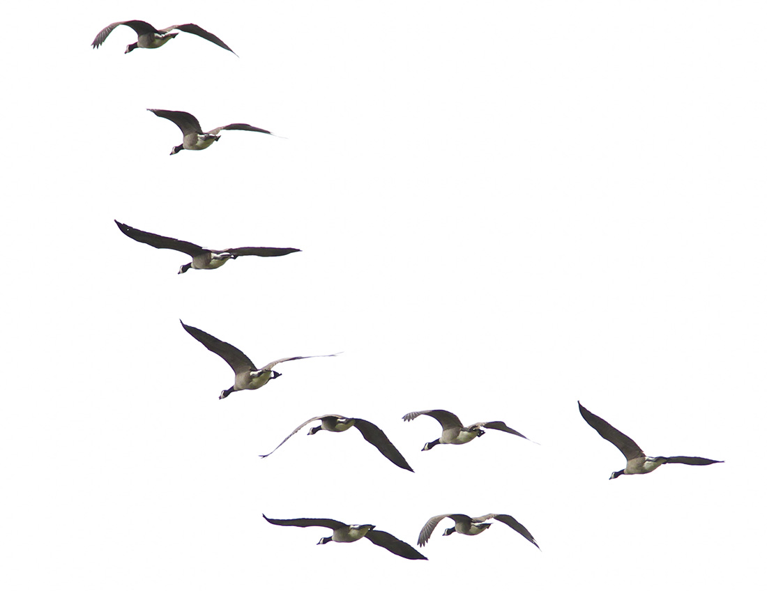 IMG 9176 edit - Geese - Delta Ponds - Eugene, OR