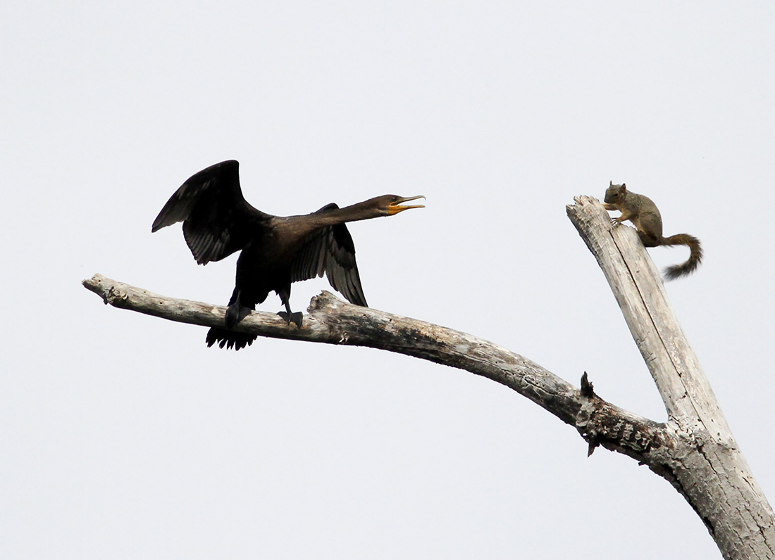 Cormorant - Squirrel - Delta Ponds - Eugene, OR - Barbara Raisbeck